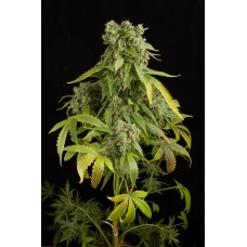 Dinafem Blue Cheese Autoflowering